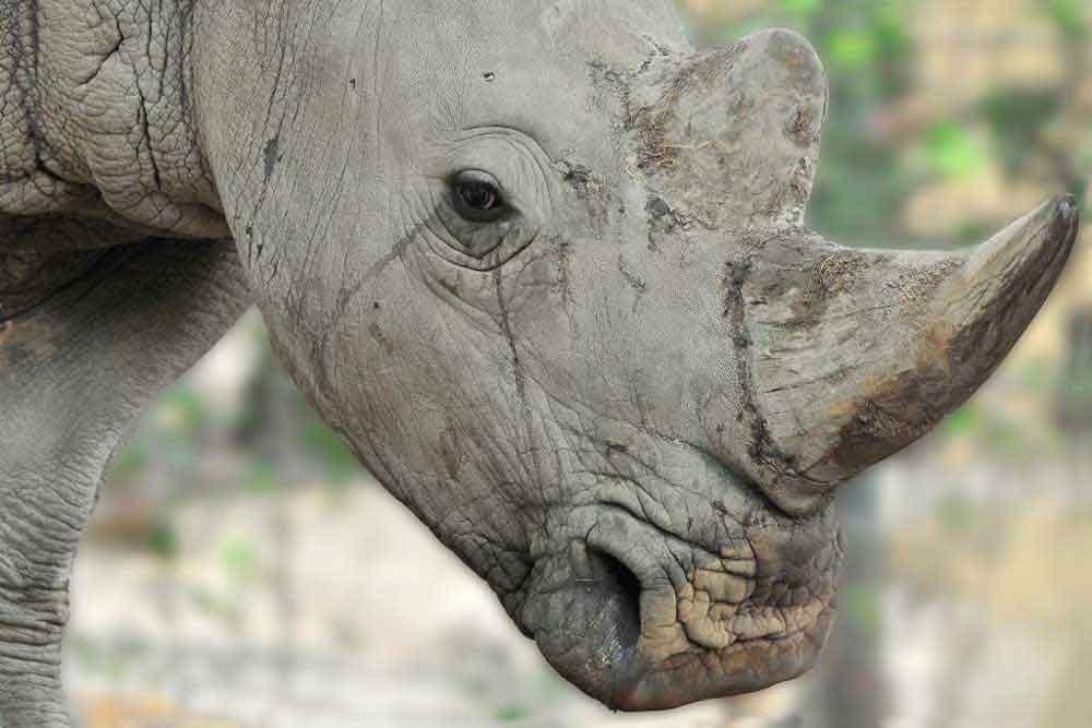 MDG_9735-rinoceronte-bianco-Kibo