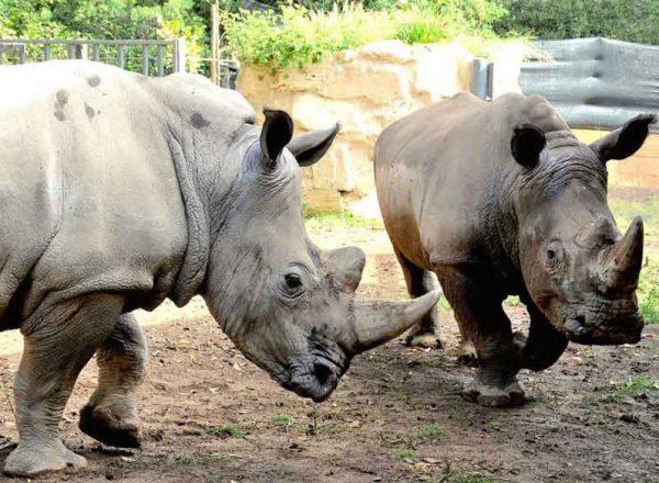 Thomas e Kibo nuovi rinoceronti bianchi accolti al Bioparco di Roma